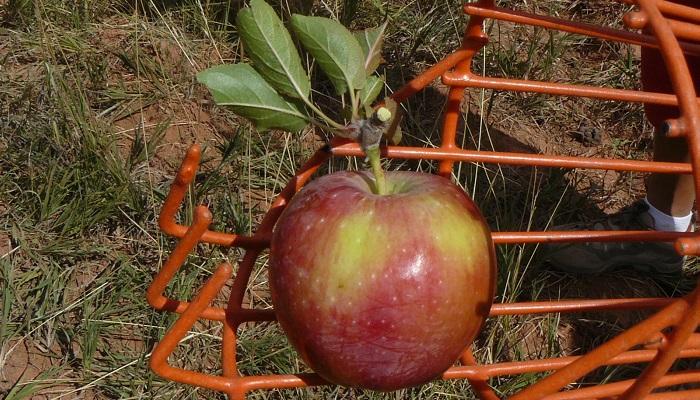Sbirani jablek
